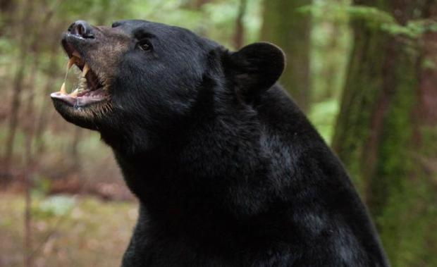 black-bear-backcountry-movieh_1